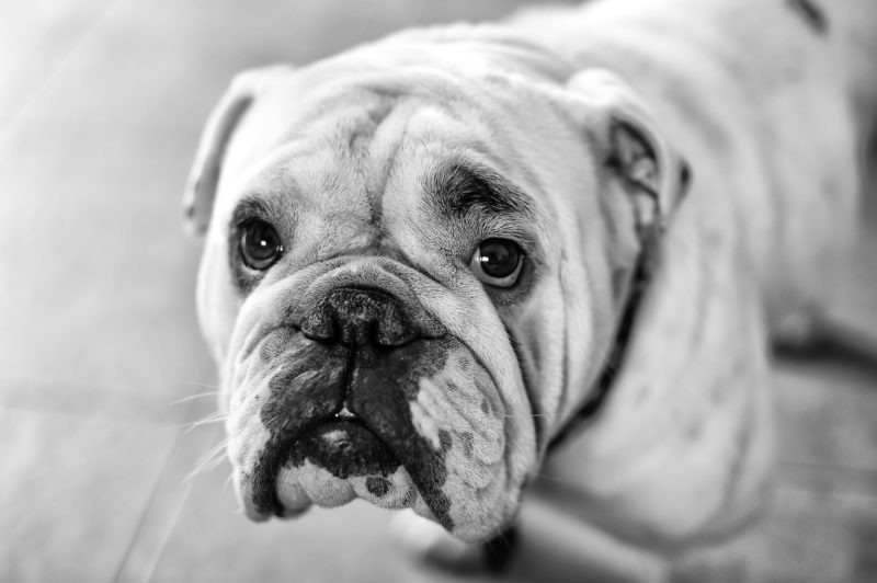 Jazzou le bulldog anglais