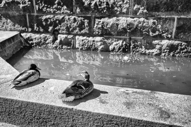 canards fontaine