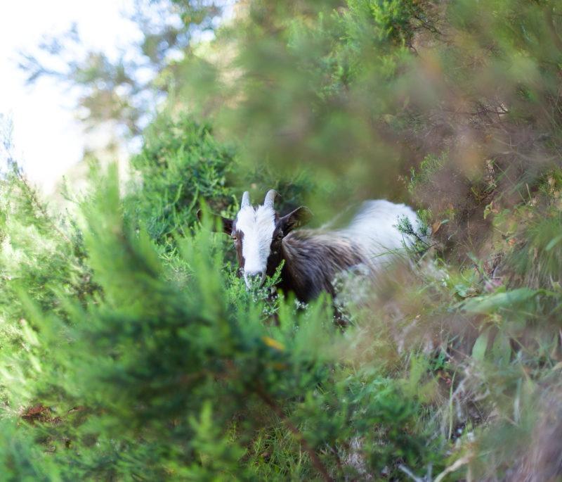 Chèvre corse curieuse
