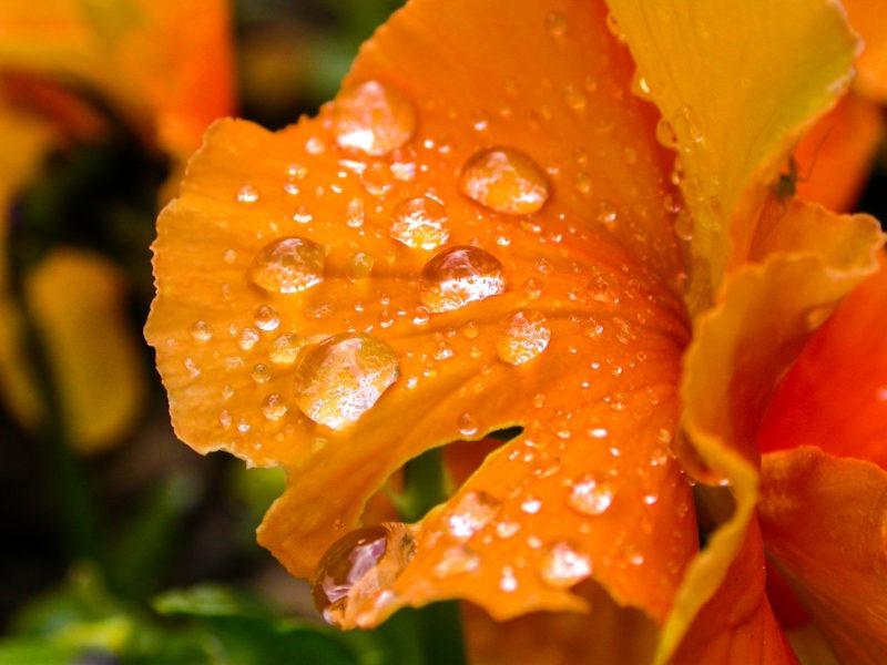 Rosées fleur orange macro