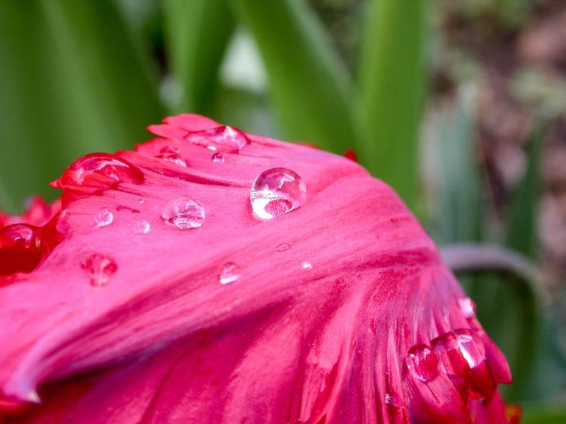 Rosées fleur rose macro